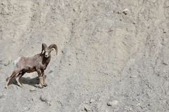 Radium Hot Springs most popular residents are Big Horn Sheep