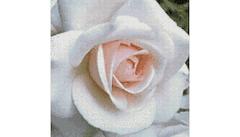 Example Mockup - Rose